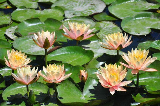 Echo Park: lotus flower
