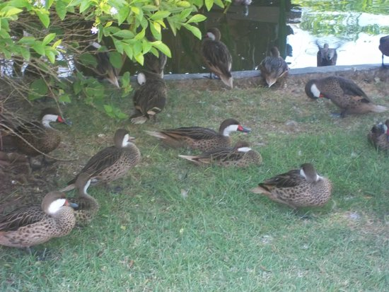 Caribe Club Princess Beach Resort & Spa: ducks walking around