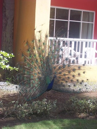 Caribe Club Princess Beach Resort & Spa: the peacocks that walk around