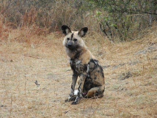 andBeyond Ngala Safari Lodge: Wild Dog! Alpha Male RARE to see!