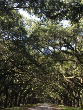 Wormsloe Historic Site: Beautiful oak tree drive