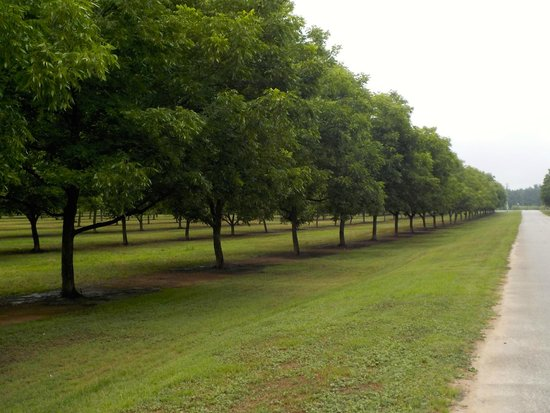 Fort Valley, Georgien: The pecan groves by Pearson farms