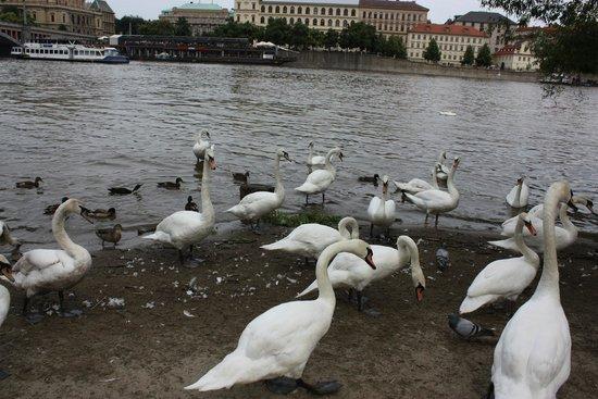 Mala strana : Живность на Влтаве