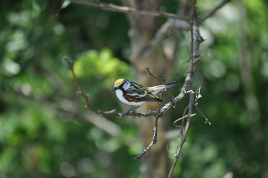 Wonder View Inn: Chestnut sided Warbler