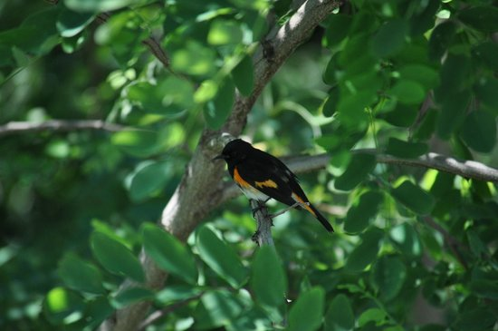 Wonder View Inn: American Redstart