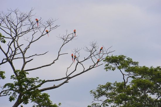 Jaco Laguna Resort & Beach Club: Scarlet Macaws from Beach side of Hotel
