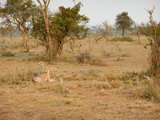 Gamewatchers Adventure Camp, Ol Kinyei: cheetah with cubs