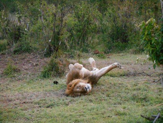 Gamewatchers Adventure Camp, Ol Kinyei: lazy lion