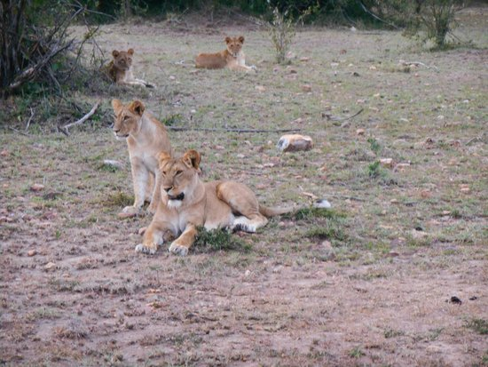 Gamewatchers Adventure Camp, Ol Kinyei: lion cubs