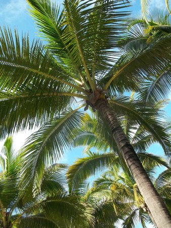 Hotel Riu Vallarta: Palmera