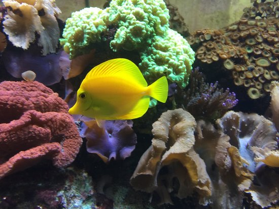 Aquario Vasco da Gama: Peixinho amarelo