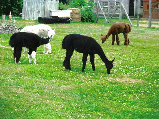 Dartmouth, MA: alpacas