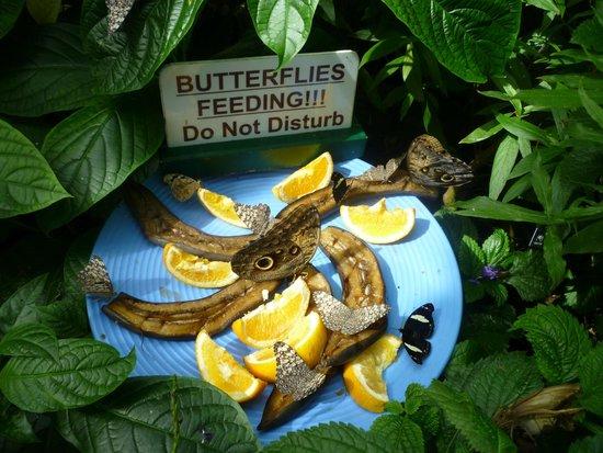 Niagara Parks Butterfly Conservatory: Butterflies eating fruit.