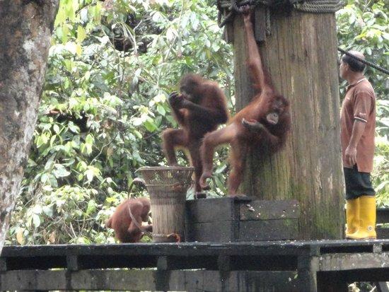 Orang Utan Sanctuary : Feeding Platform