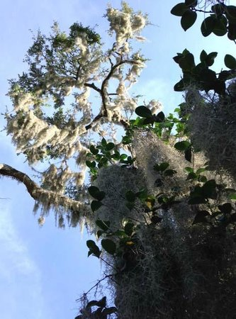 Inn at Middleton Place: 100 year old mossy oaks