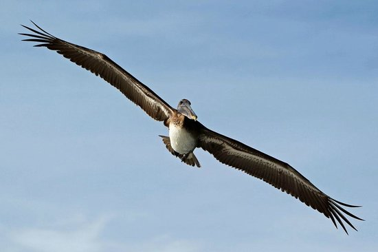 Sol Cayo Santa Maria : Cuban beaches and wildlife with beautiful pelicans !!!