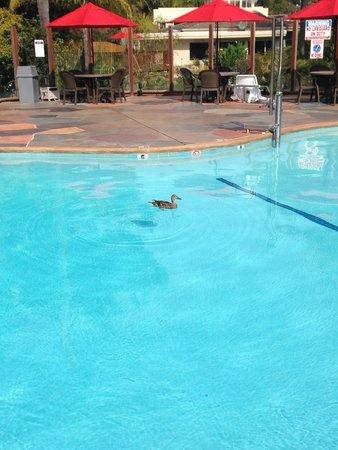 Ramada Santa Barbara: Un intruso en la piscina