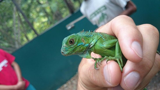 Green Iguana Conservation Project : A baby