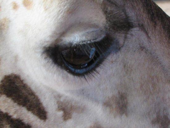 African Fund for Endangered Wildlife (Kenya) Ltd. - Giraffe Centre: Long eyelashes!