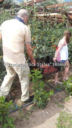 Pizzeria Antica Stabia: la raccolta dei pomodori