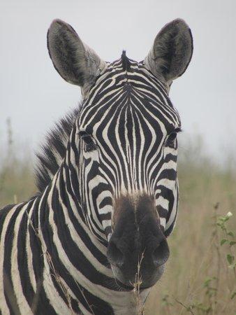 Parc national de Nairobi : Zebras are very close to the car