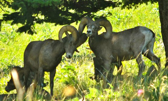 National Bison Range: Big Horn Sheep
