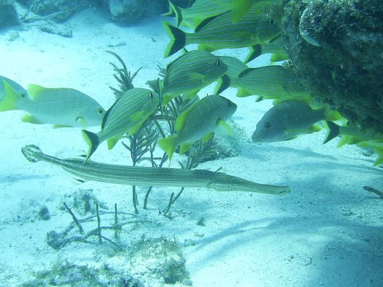 Island Ventures: Trumpetfish and Grunts
