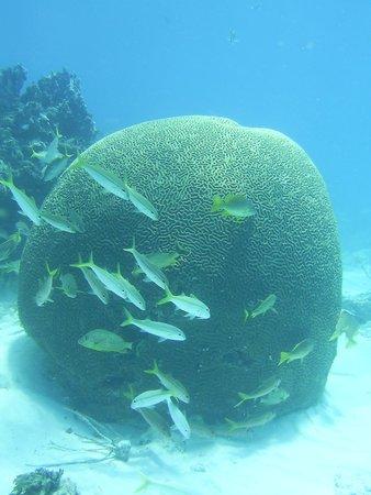Island Ventures: Brain Coral