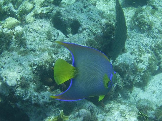 Island Ventures: Blue Angelfish