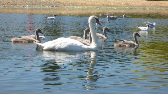 Lakeview Guesthouse : Swans in the park