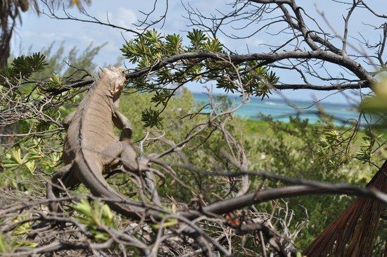 Petite Terre: Les iguanes sont très appréciés