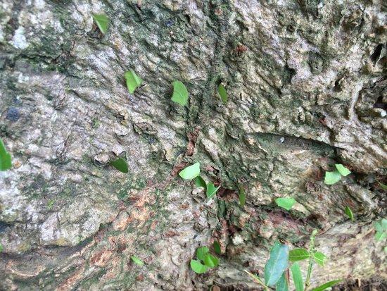 Espadilla Ocean Club: Leafcutter ants