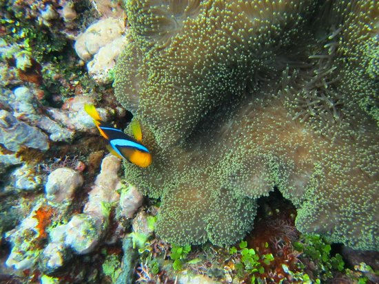 Koro Sun Resort and Rainforest Spa: Snorkeling in Coral Gardens