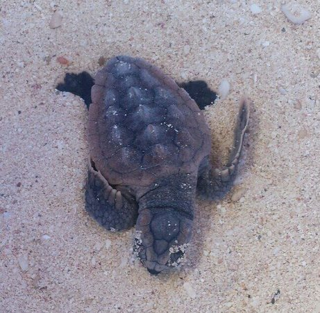 Valentin Imperial Riviera Maya: Rescued Baby Sea Turtle!!
