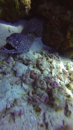 Playa Scuba Dive Center: Spotted Moray Attack!