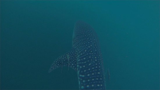 Playa Scuba Dive Center: Whale shark swim