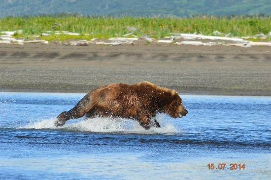 Alaska Bear Adventures: Chasing breakfast.