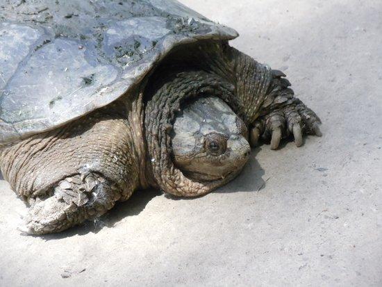 Explore Pelee: surprise sighting - turtle having fun in the sun