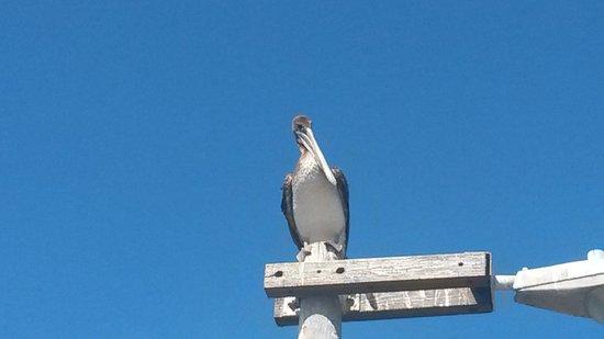 Pismo Pier: Our Pelican Friend