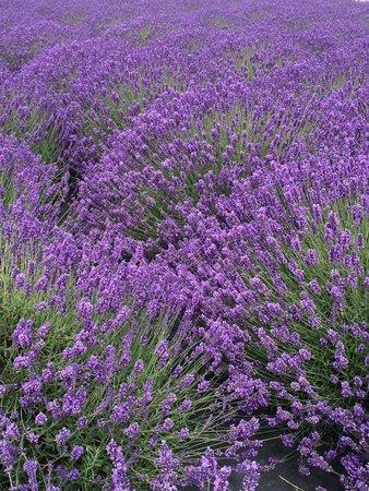 George Washington Inn: Lavender on the Inn property