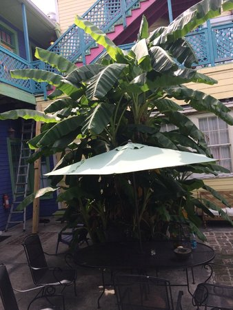 Creole Gardens Guesthouse Bed & Breakfast : Courtyard Plantain Tree