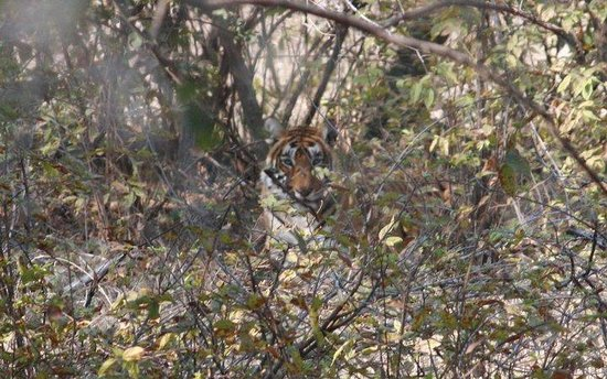 Ranthambore National Park: T5 Tigress at the Ranthambhore National Park (Zone 5)