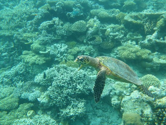 Vilamendhoo Island Resort & Spa: Turtle