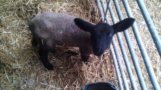 Causey Farm: Agneau...