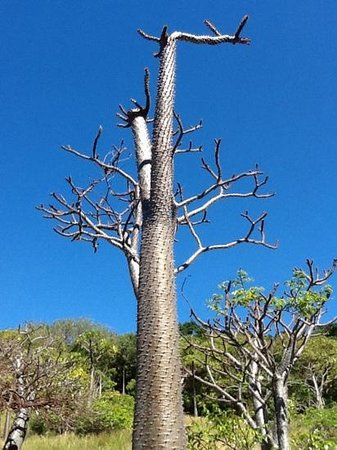 Anjiamarango Beach Resort : baobab la recompense apres une heure d escalade