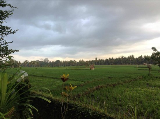 Tegal Sari: The padi field view right in front of my room.