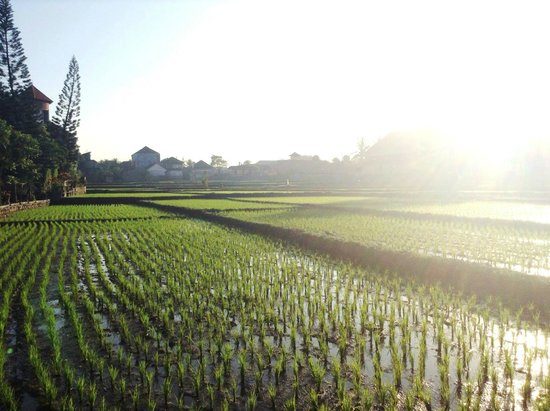 Tegal Sari: Beautiful padi field view that greets me during the stay.