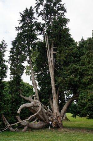 Chateau de Combourg: arbre remarquable