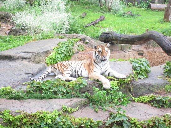 Lincoln Park Zoo : Tiger Display