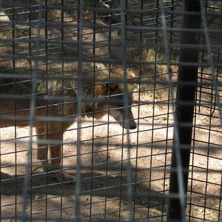 Parc Zoologique de Frejus : Le loup, animal social, est seul ...